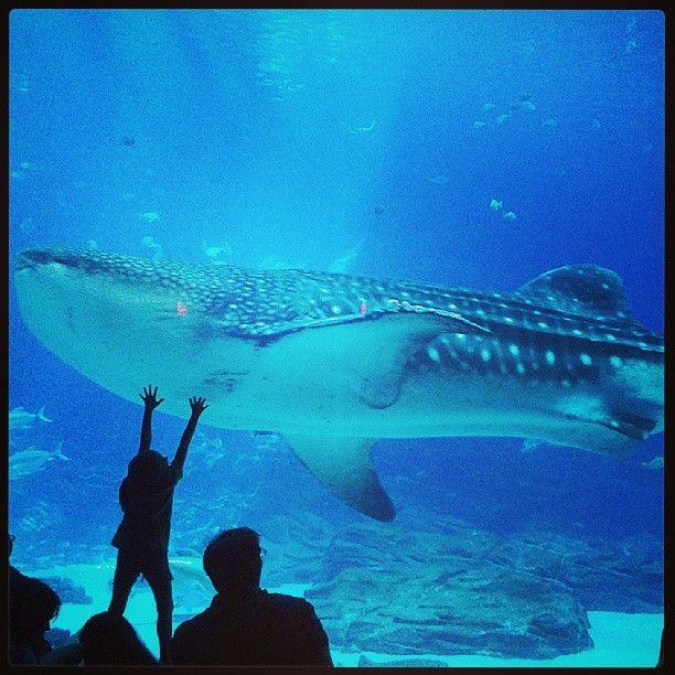 Been there!   Georgia aquarium, Whale shark, Atlanta ...