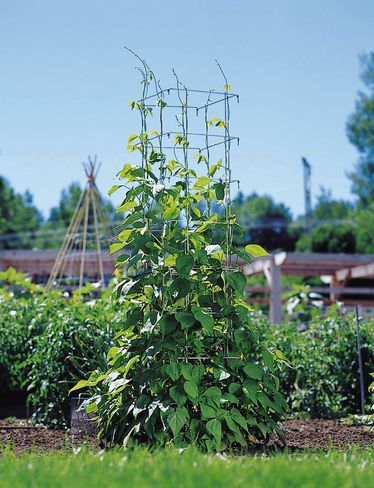 Iu0027m Experimenting With This Bean Tower From Gardeners Supply.