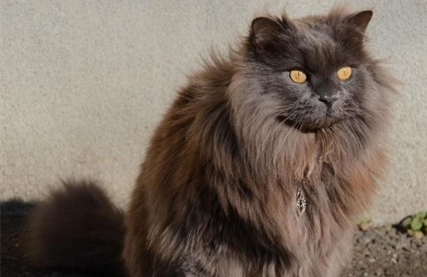 Tiffany Cat Breed History Information And Pictures Pet360 Pet