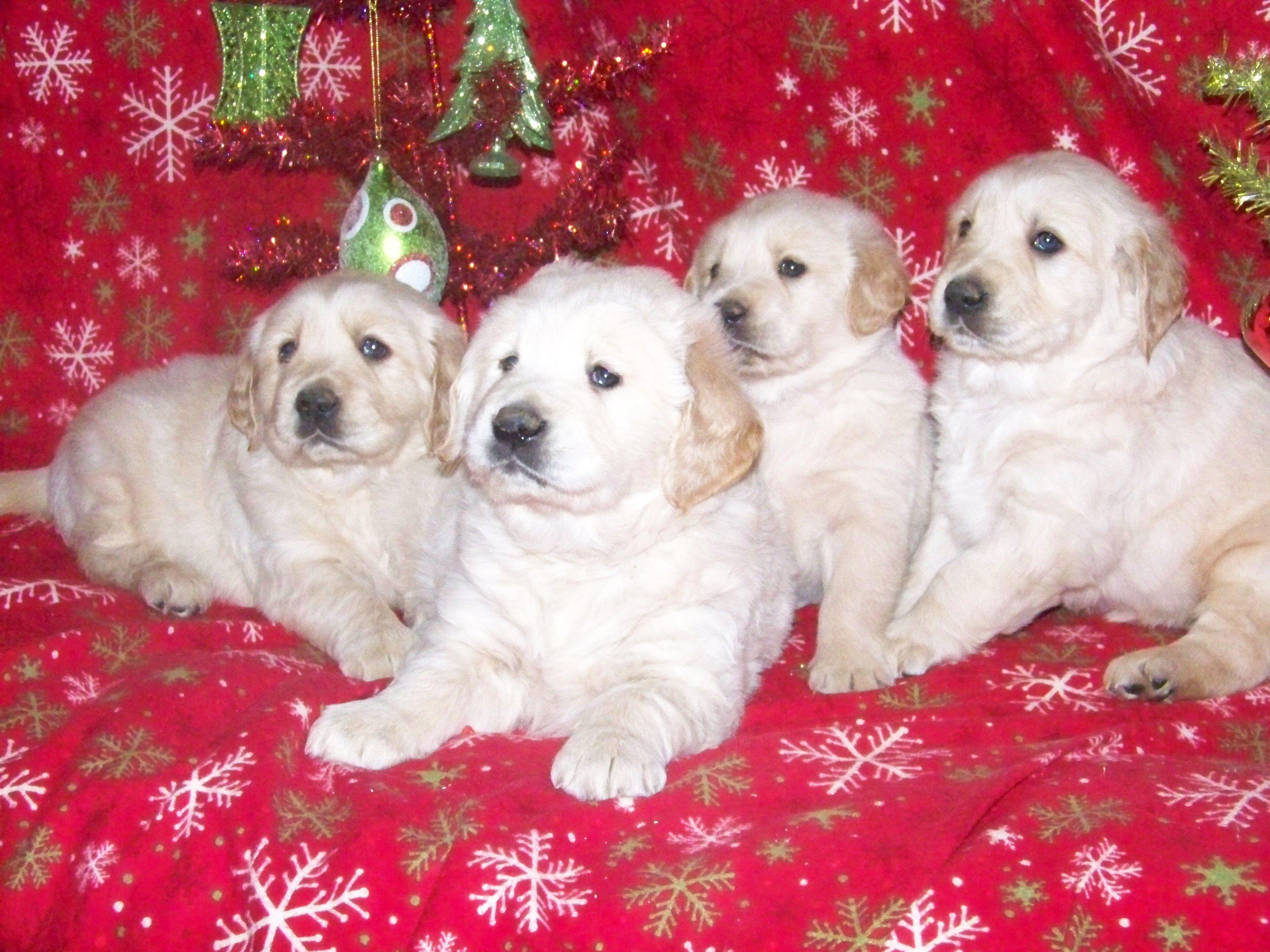 Golden Retrievers Golden Retriever Puppies My Golden Retrievers