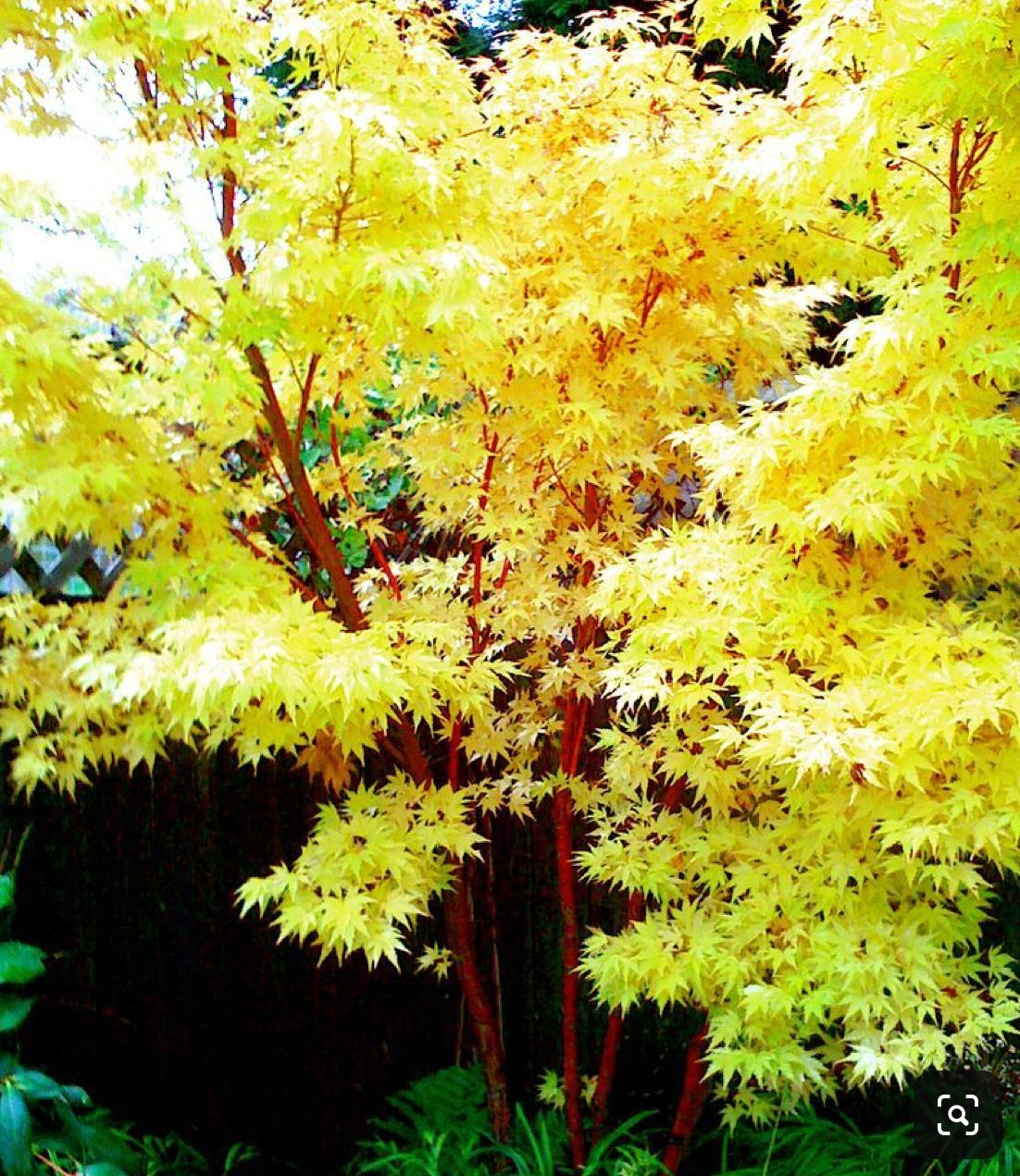 Small Trees For Borders: Pin By Vanessa Hanley On Garden Decor