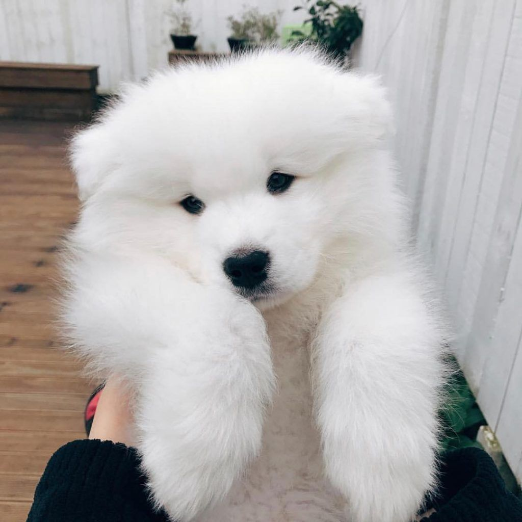 "The Samoyed is one of the world's oldest dog breeds. His lush white coat is his most outstanding physical featureThese dogs wear a happy expression affectionately referred to as the ""Sammy smile.""If you're thinking of adding a Samoyed to your family, be sure to check your local..."
