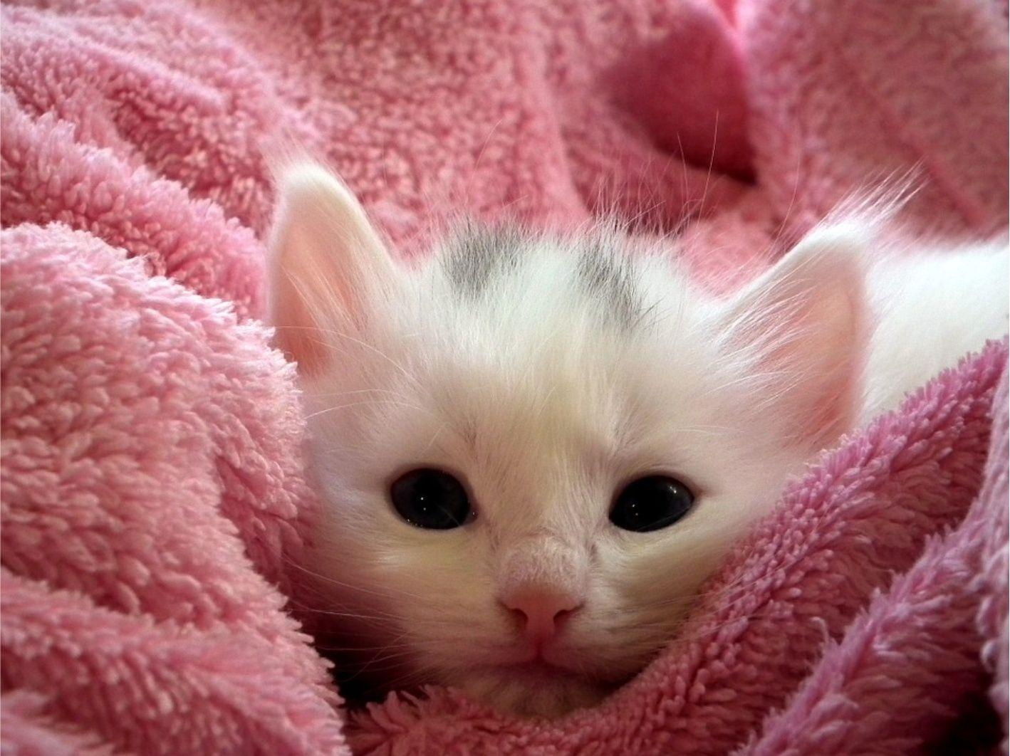 Kitten Gratis Stockfoto Afbeelding Foto Te Gebruiken Voor Elk Project Dat Je Hebt Zonder Vermelding Of Bijdrage Vo Schattige Kittens Zachte Kat Witte Katjes