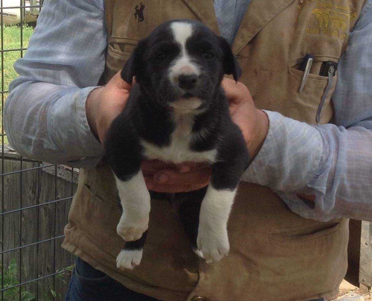 Hanging tree cow dogs for sale - Hanging Tree Puppies For Sale For More Information Click On The Image Or See Ad