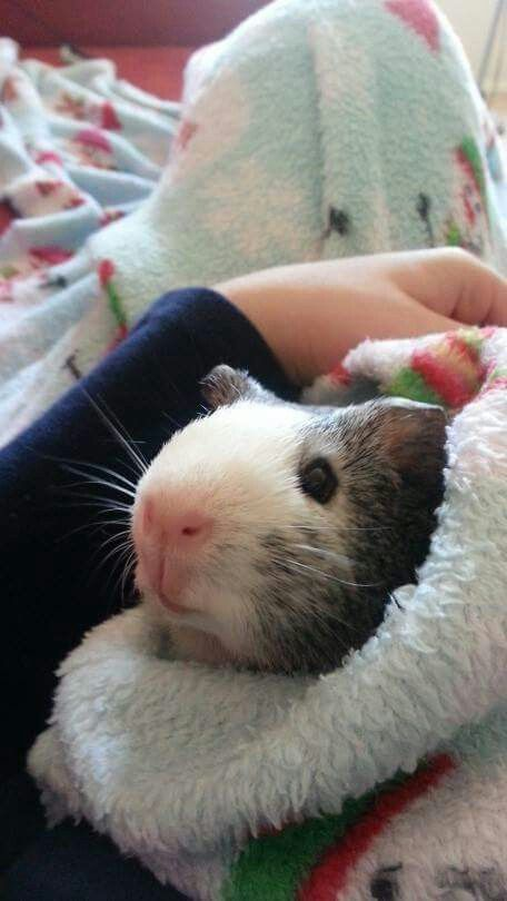 Guinea Pig from Poland.