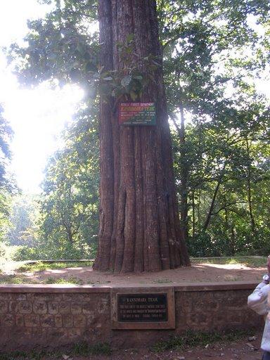 World S Tallest Living And Oldest Teak Tree Kannimari Teak