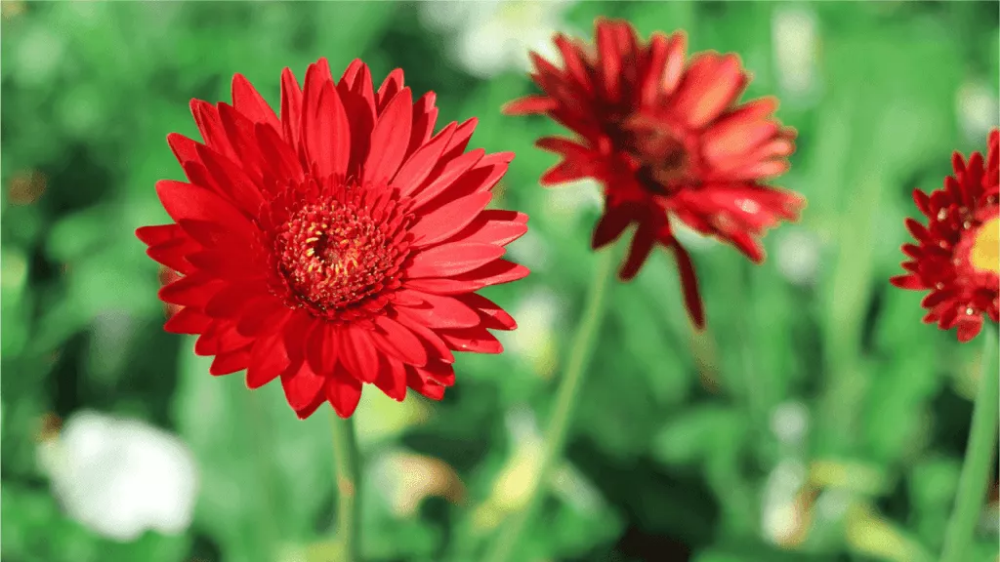 Gerbera Pflege Alles Zu Standort Giessen Dungen Vermehren Gerbera Pflanze Gerbera Heilpflanzen
