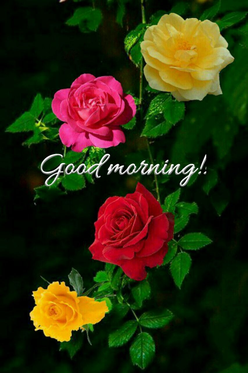Good Morning With Beautiful Colourful Roses Love Pinterest