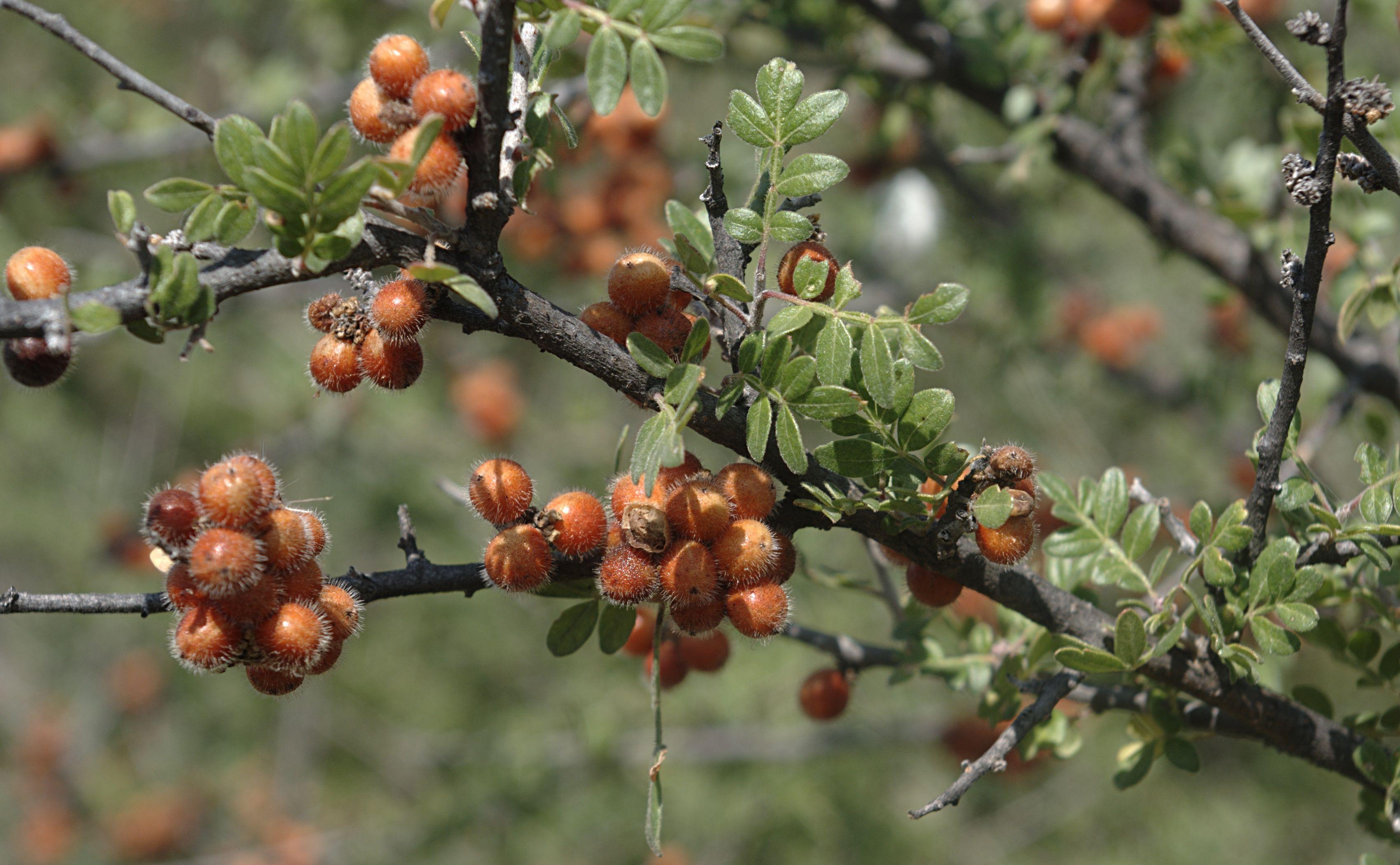 Agrillo Fruta representativa de Arandas Jalisco con la que se elaboran aguas frescas y