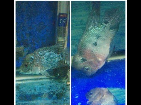 Download 940+ Background Aquarium Louhan HD Terbaik
