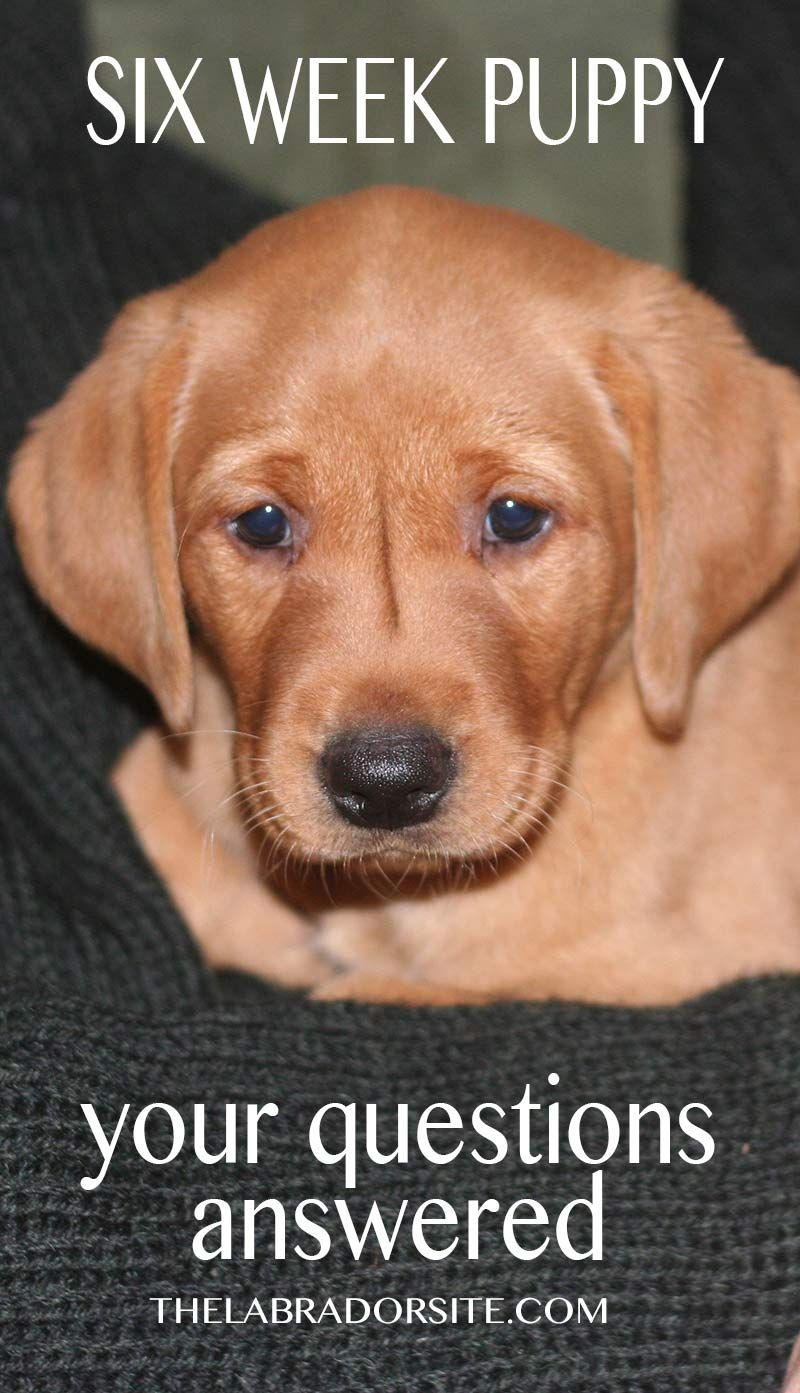6 Week Old Puppy Adopting and Care Your Questions