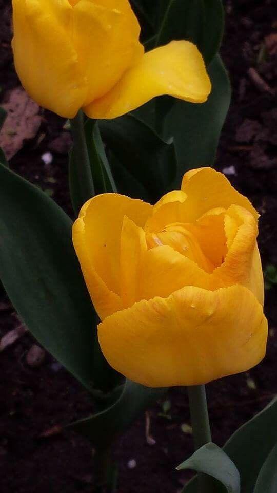 Tulipes du Festival d'Ottawa