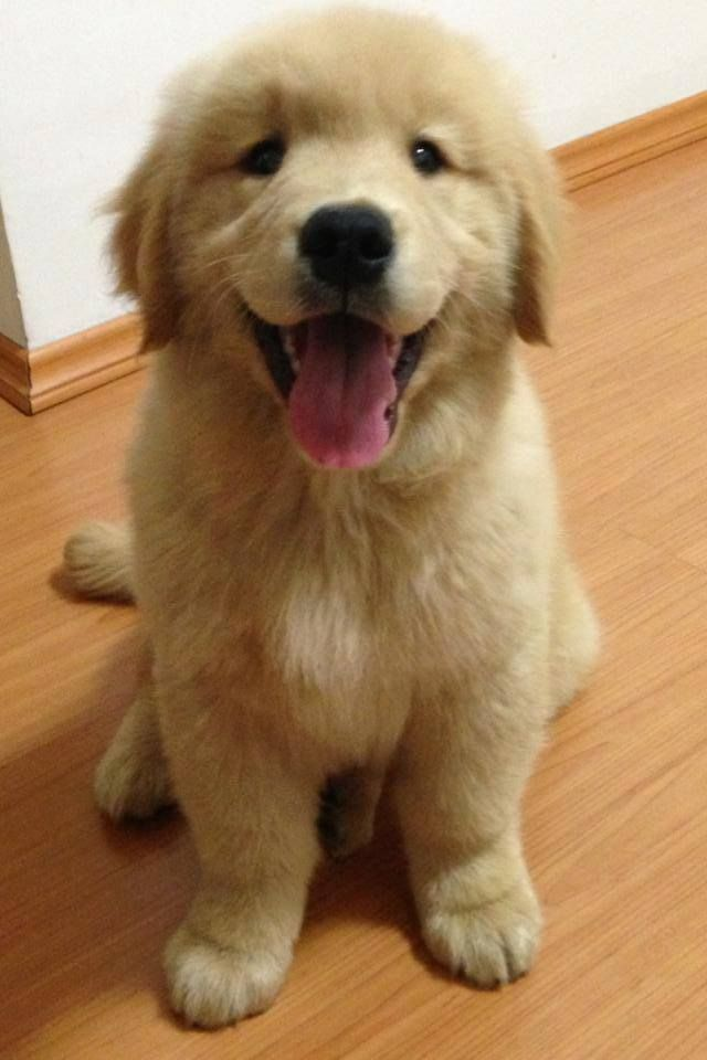 Happy Pup Dogs Golden Retriever Cute Baby Animals Cute Animals