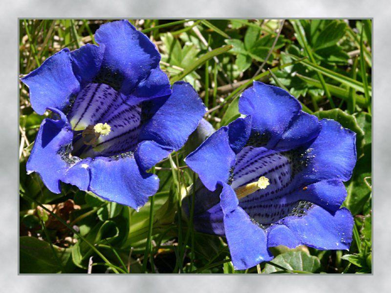 trumpet gentian Italian Flowers SobeysWest Italian