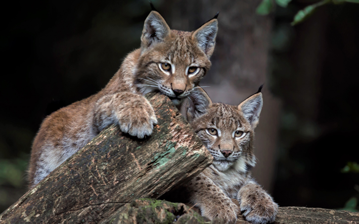 Download Wallpapers Small Lynx Wildlife Forest Cute Animals Lynx Besthqwallpapers Com Susseste Haustiere Ausgestopftes Tier Tiere