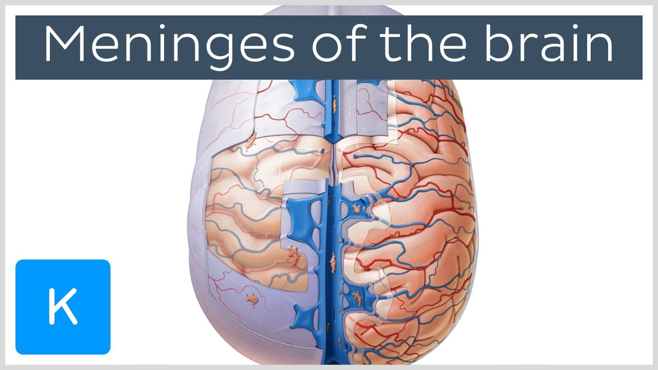 Meninges of the brain preview human anatomy kenhub imed meninges of the brain preview human anatomy kenhub ccuart Images