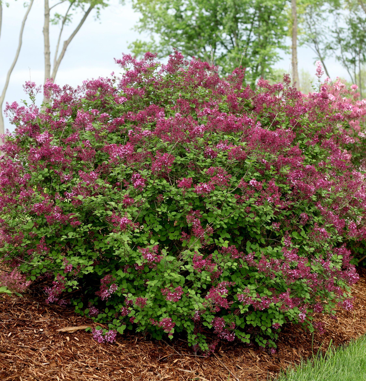 Bloomerang Dark Purple Lilac Monrovia Bloomerang Dark Purple Lilac Plants Lilac Tree Syringa