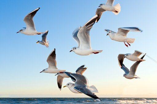 Gaivotas, Bird, Voar, Costa