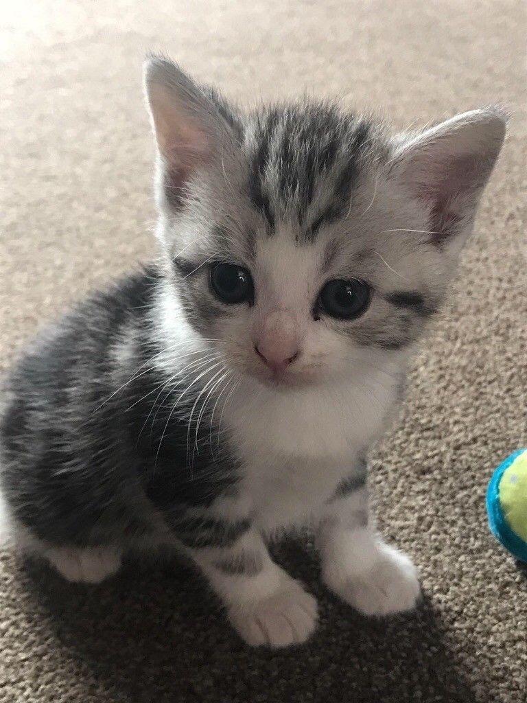 Grey And White Bengal Mix Kittens Male Google Search Tiere Katzenbabys
