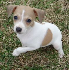 Baby Rat Terriers For Sale Rat Terrier Puppies Rat Terrier