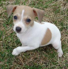 Baby Rat Terriers For Sale Rat Terrier Puppies Rat Terrier Puppies Rat Terriers Terrier Puppies