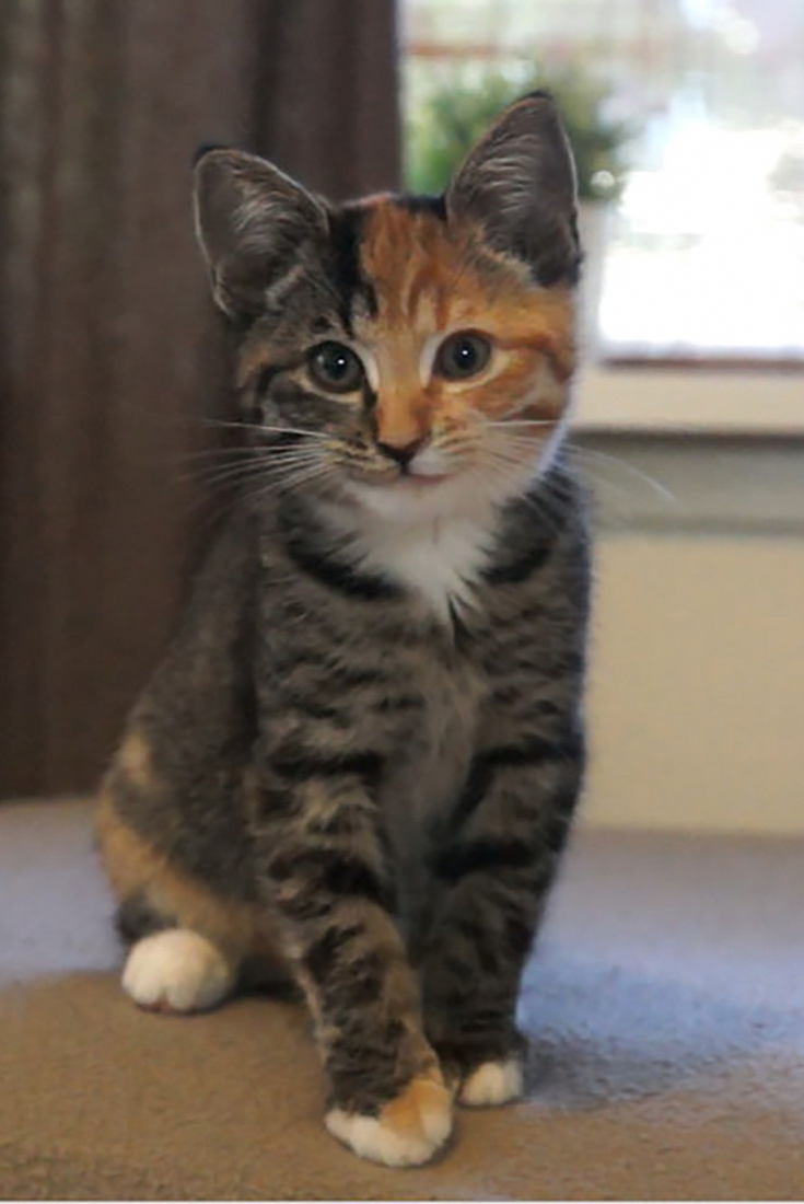 This Is Little Maci The Cute Two Faced Kitten Cute Cats Cute Cat Gif Cute Cats And Kittens