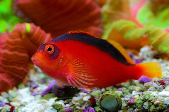 What S Currently In My Tank Flame Hawkfish The Fish Is Known To