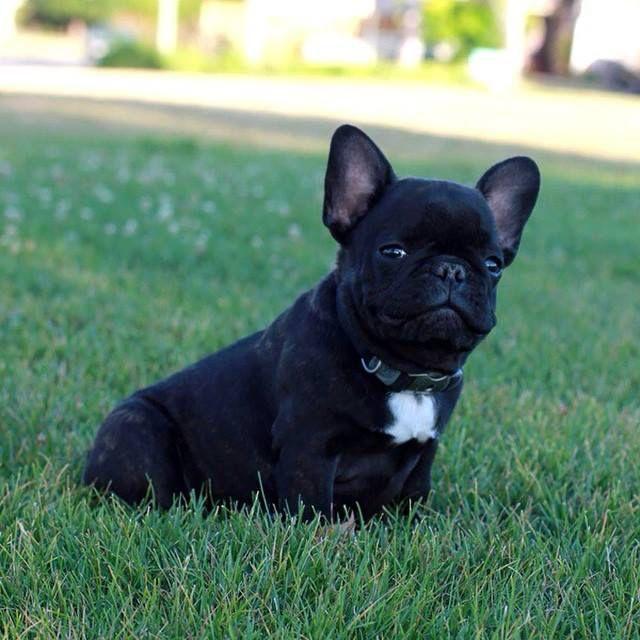 If CeeLo Greene were a puppy...   French Bulldog