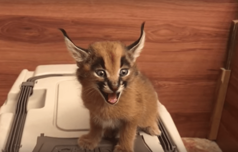 Baby Caracal asks for some food (turn your sound on