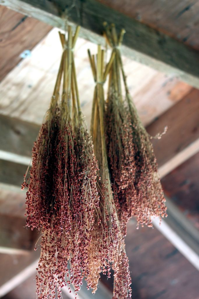 Bundles Of Broom Corn Hung To Dry Dried Flowers Drying Herbs Dried Flowers Herbs