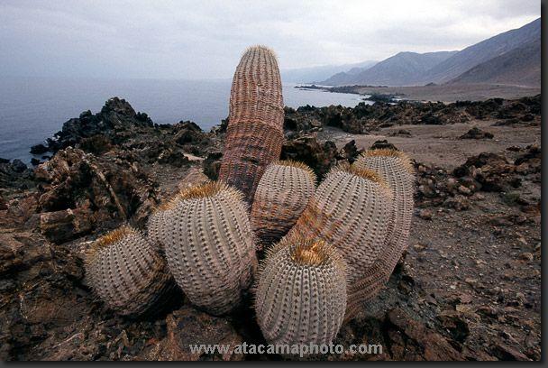 Photo: Copiapoa cinerea cinerea cactus near the beach of Paposo