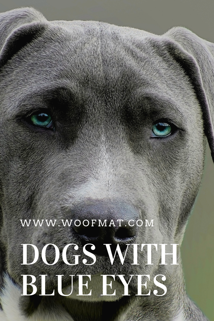 Dogs With Blue Eyes Dogs Dog Facts Large Dog Breeds