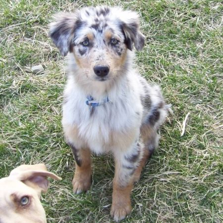 short haired blue merle australian shepherd puppy , Google