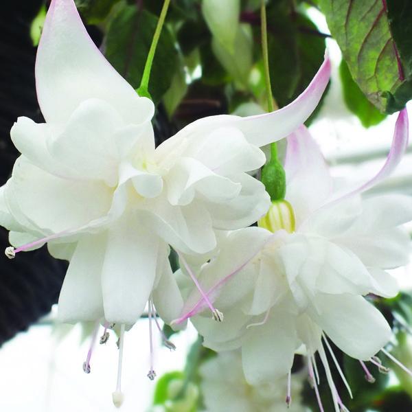 Fuchsia Giant Trailing White King Plants 8 95 From Mr Fothergills Seeds Fuchsia Flowers Trailing Flowers Fuchsia Garden