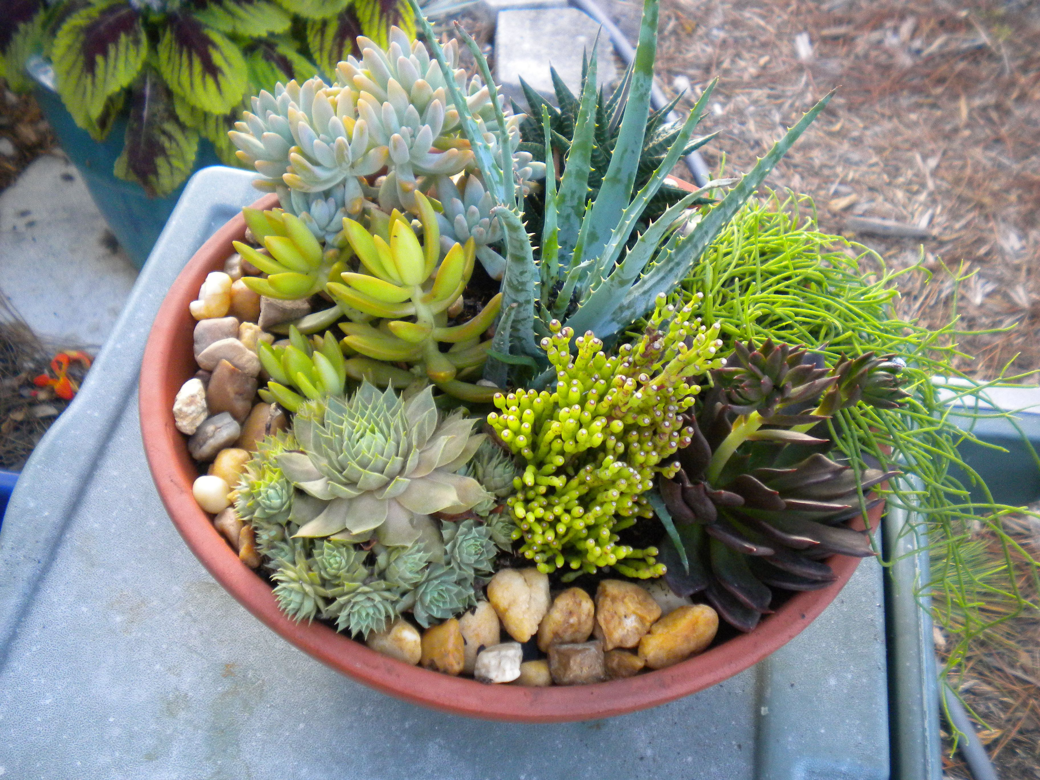 Gardening Succulent Dish Garden Botanical Concepts Pictures Of