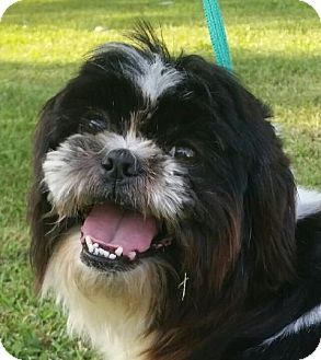 Lexington Ky Shih Tzu Meet Doodle Bug A Dog For Adoption