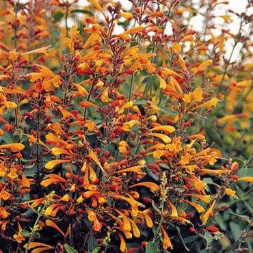 Agastache Aurantiaca Apricot Sprite Low Water Plants Eco Friendly Landscapes High Country Gardens