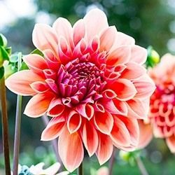 Dahlia Types Of Flowers Different Types Of Flowers Indian Flowers