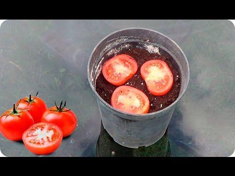 La forma mas facil de germinar un tomate del supermercado - Cuando plantar tomates ...