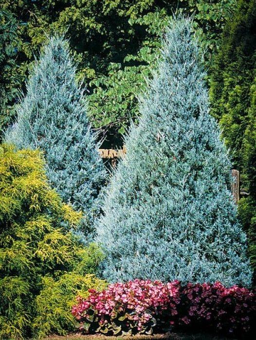 Juniper Trees Garden Shrubs Evergreen Trees Garden Trees