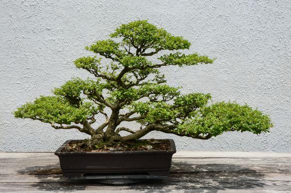 bonsai växter - Sök på Google