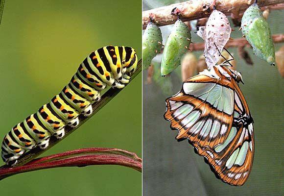 Galerie Schmetterlinge Kokon Schmetterling Schmetterling Insekten