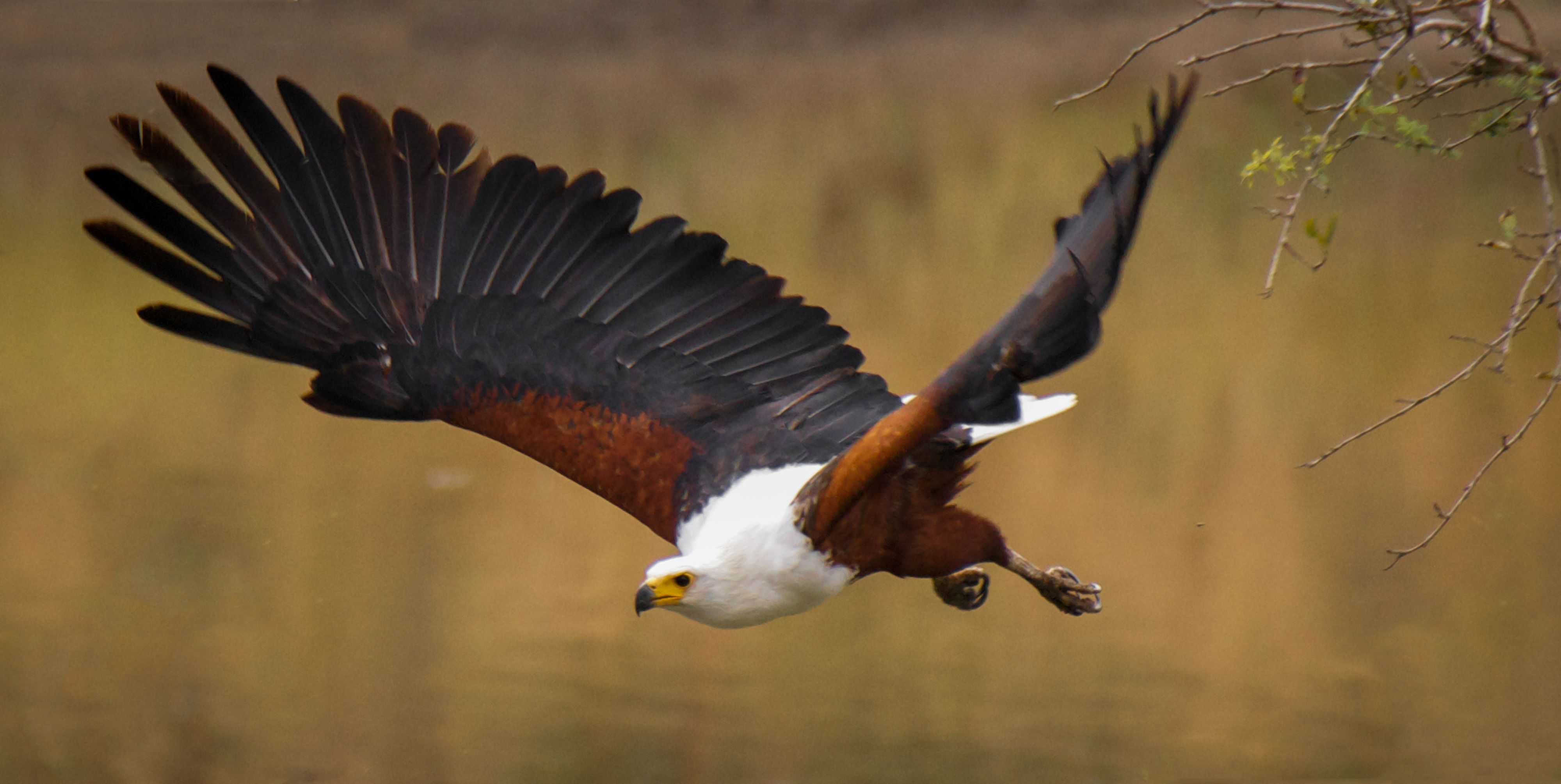This Picture Of An African Fish Eagle On The Hunt Was One Of The Most Top Voted Pictures On Tallenge Go Vote For It On African Wildlife Eagle African Animals