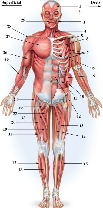 learn 25 muscles of the human body ( iaconoj) memorize | anatomy, Muscles