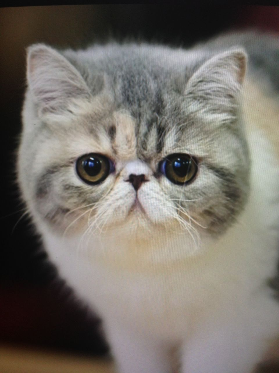 Exotic Shorthair Cats Snoopy | www.imgkid.com - The Image ... Exotic Shorthair Tabby