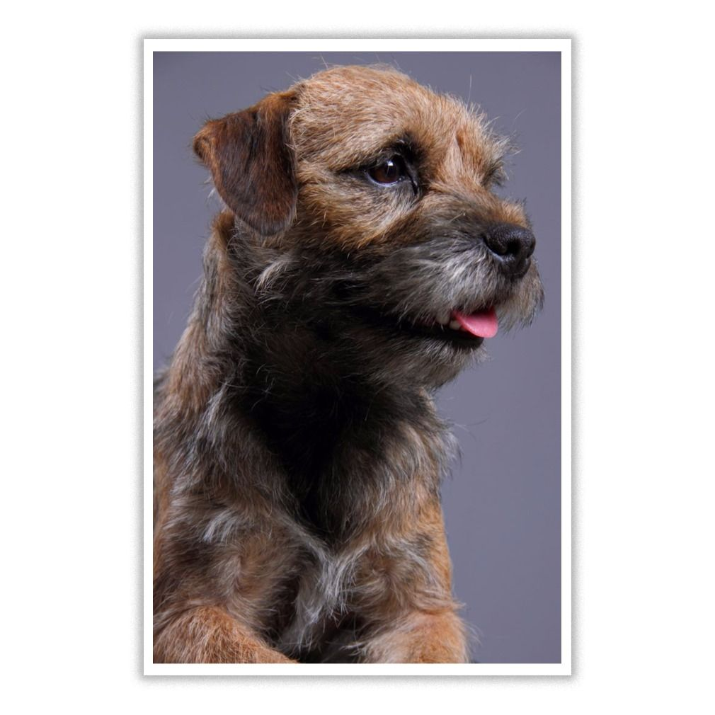 I Love Border Terrier Dog 7 Poster Border Terrier Border