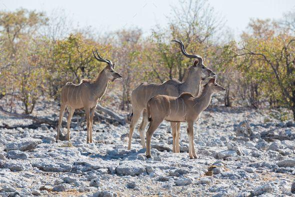 Kudu antelope group by FerradalFCG. Side view of kudu antelope group in alert