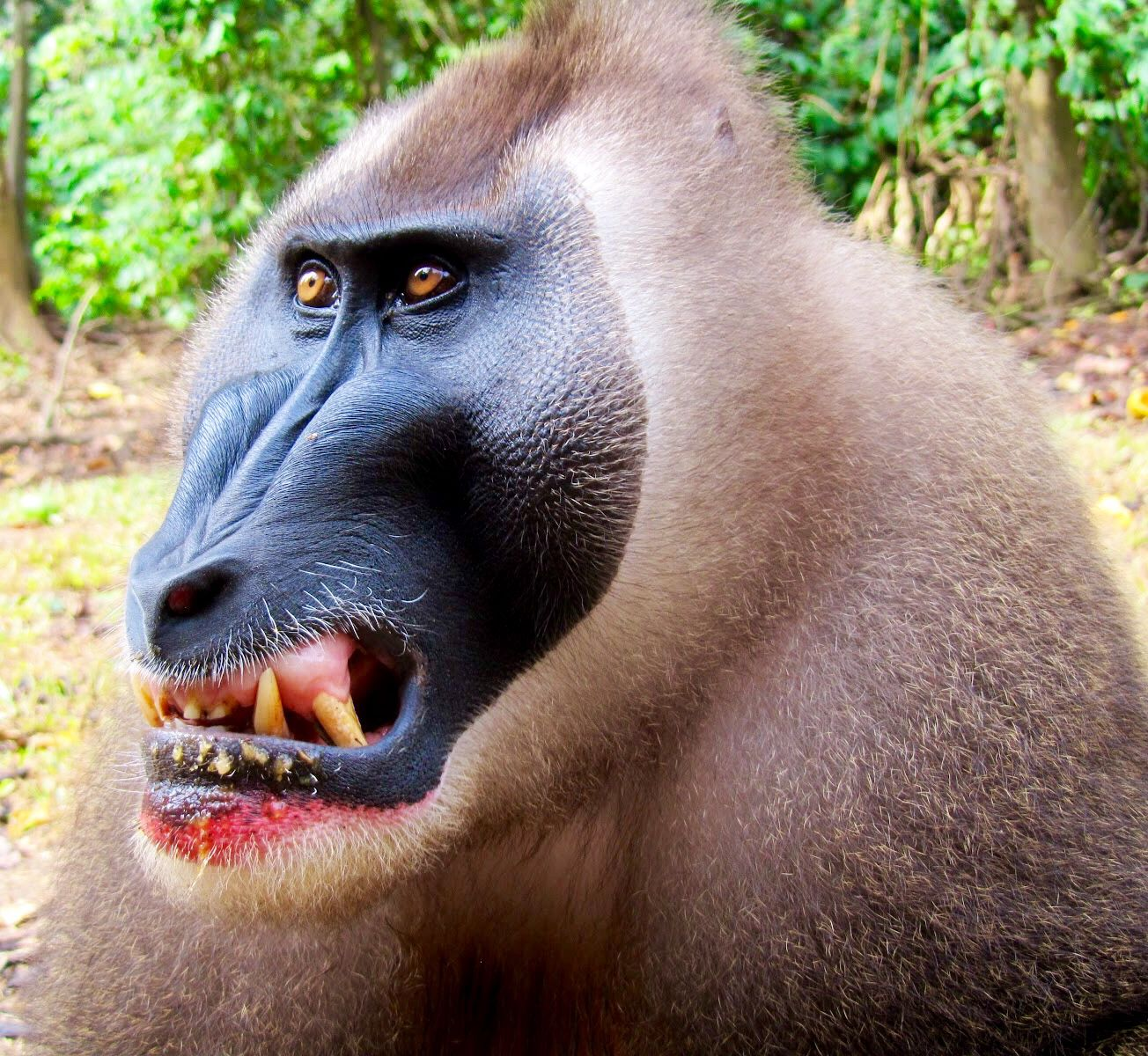 Male Drill | Primates, Power animal, Chimp