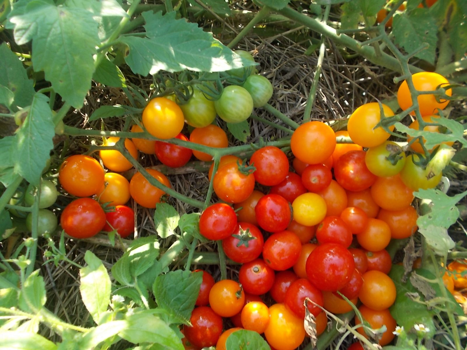 How long does it take tomatoes to grow with images