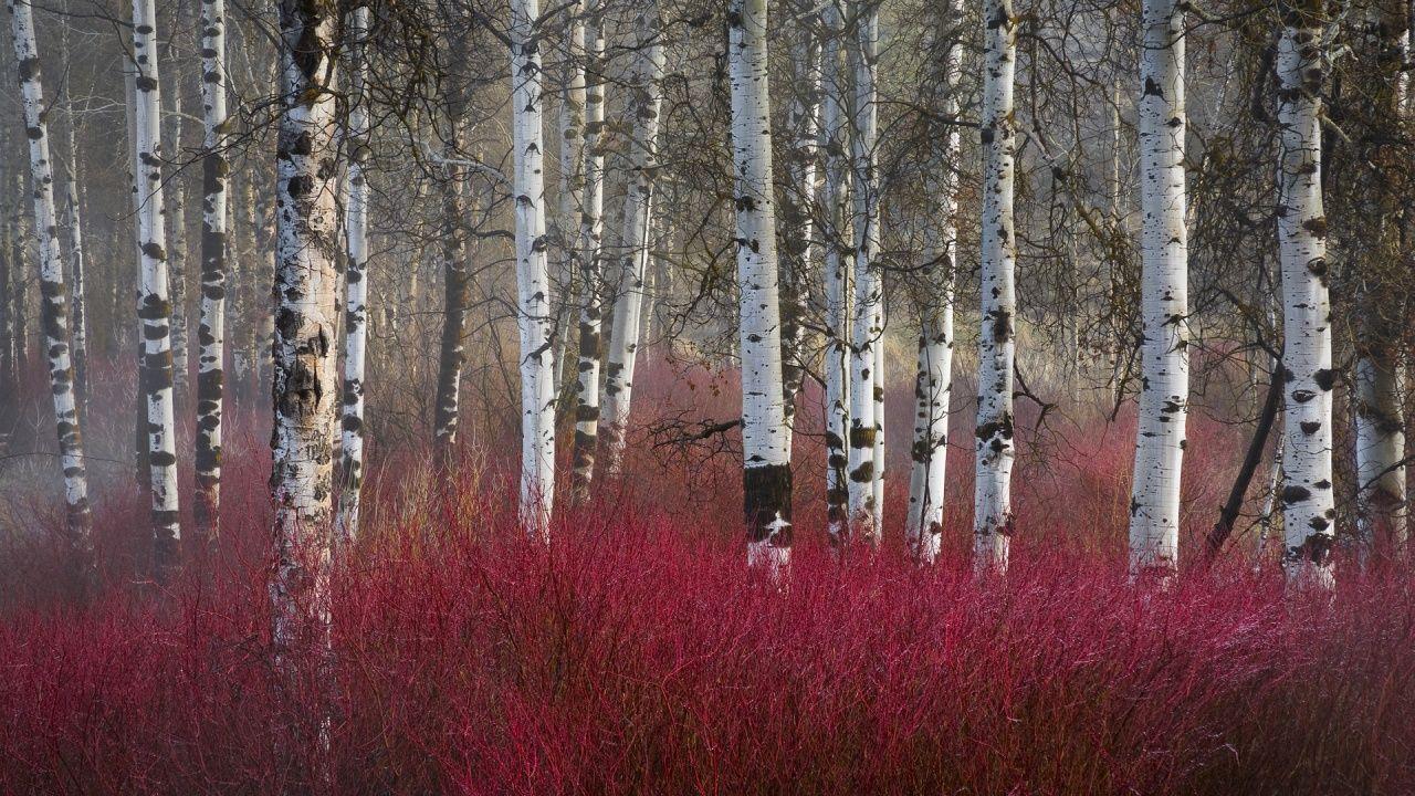Dogwood Red Twig Shrub Cornus Stolonifera Loved By The Birds